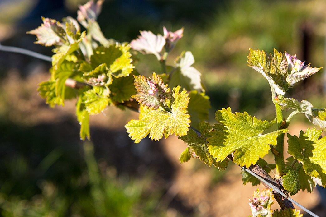 Pinot Noir Vines Sancerre1