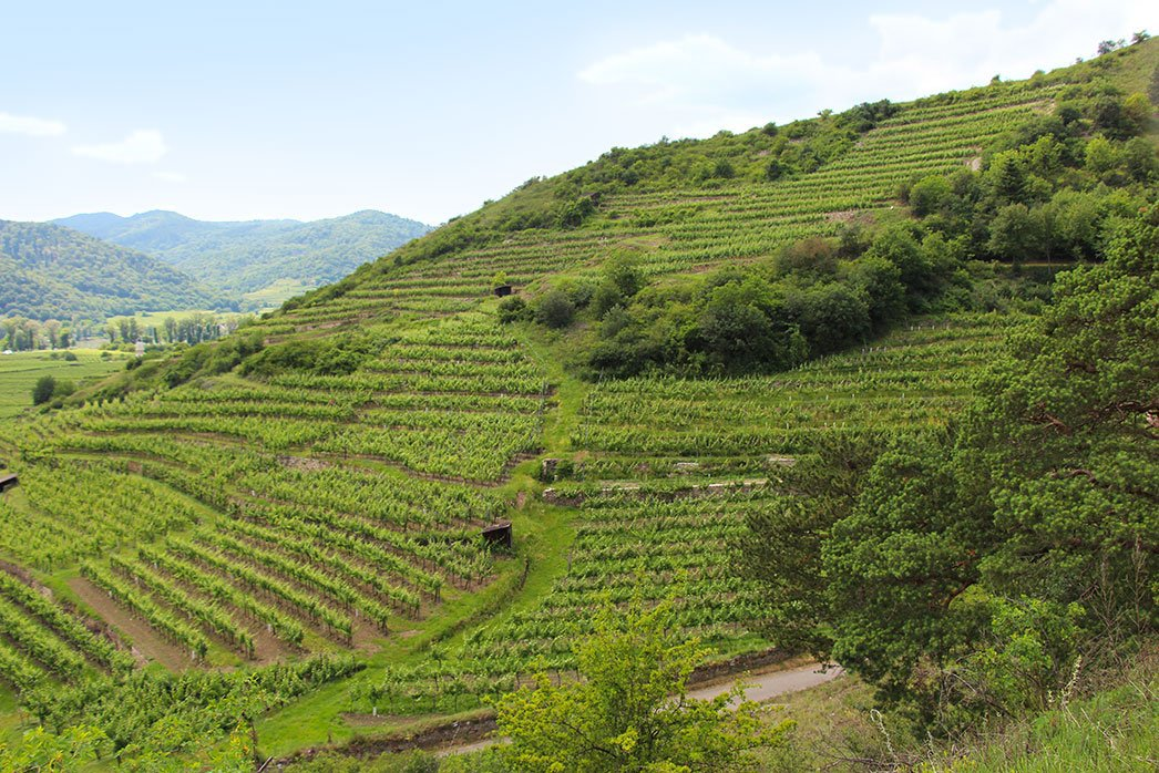 Vineyard in the Wachau