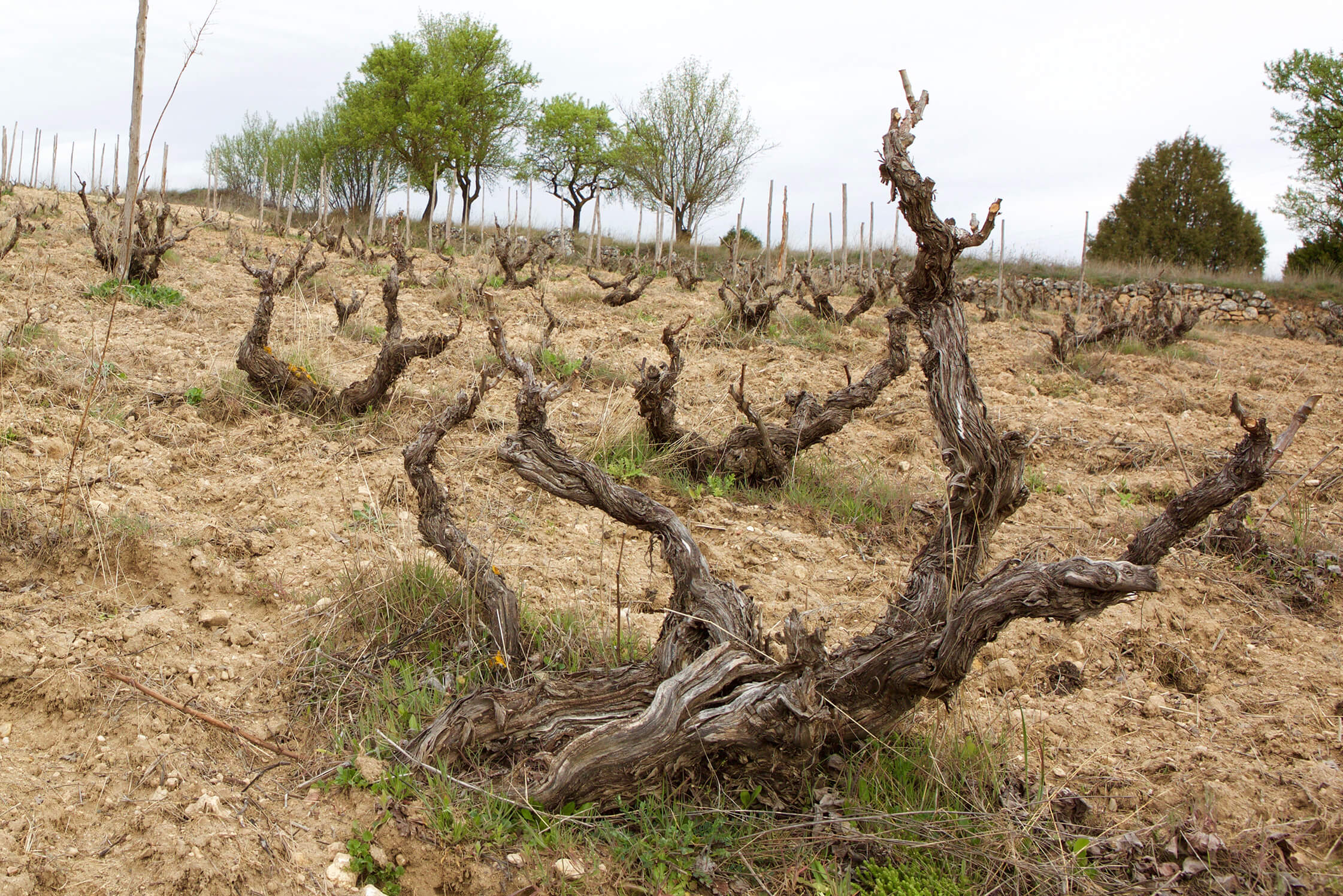 Pre-phylloxera vines in the Carremolino vineyard of César Fernández